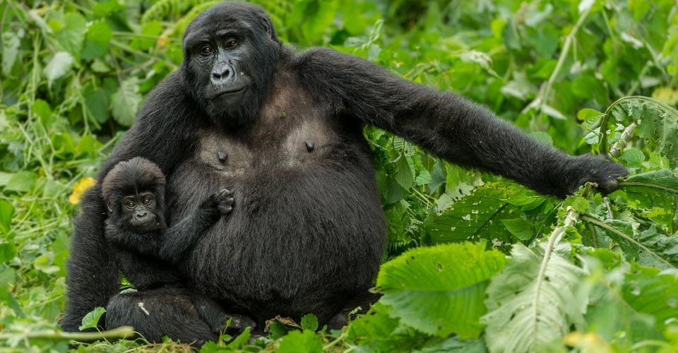 a mother mountain gorilla with young baby in her arms