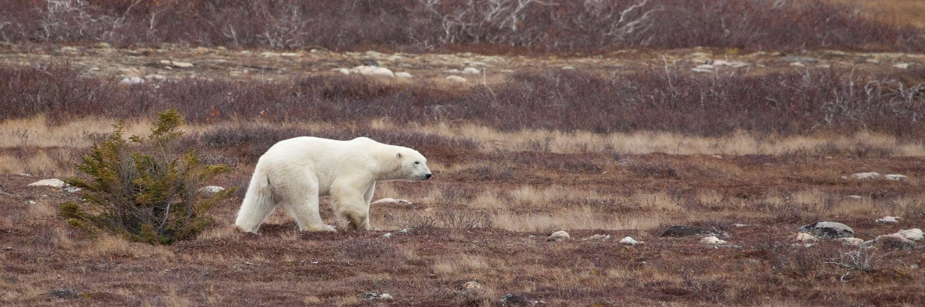 a polar bear walking across the arctic tundra in Churchill, Canada