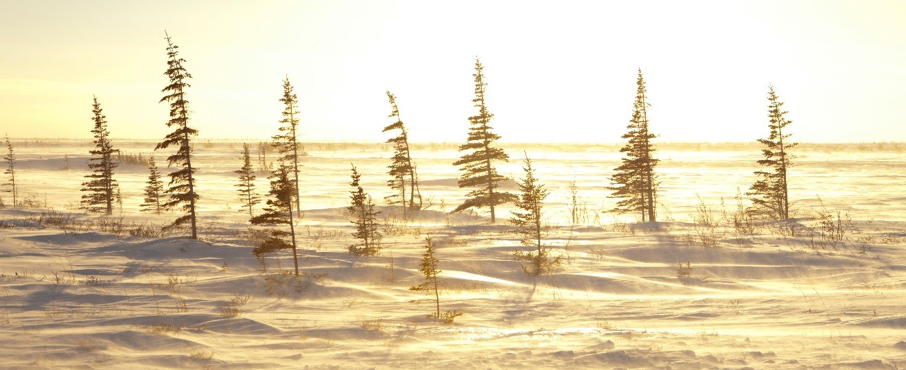 spruce trees illuminated by golden light in the arctic of Churchill, Canada