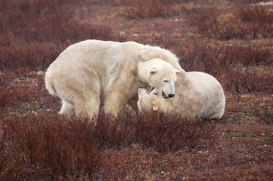 two polar bears play fight in the red willows on the tundra of Churchill, Canada