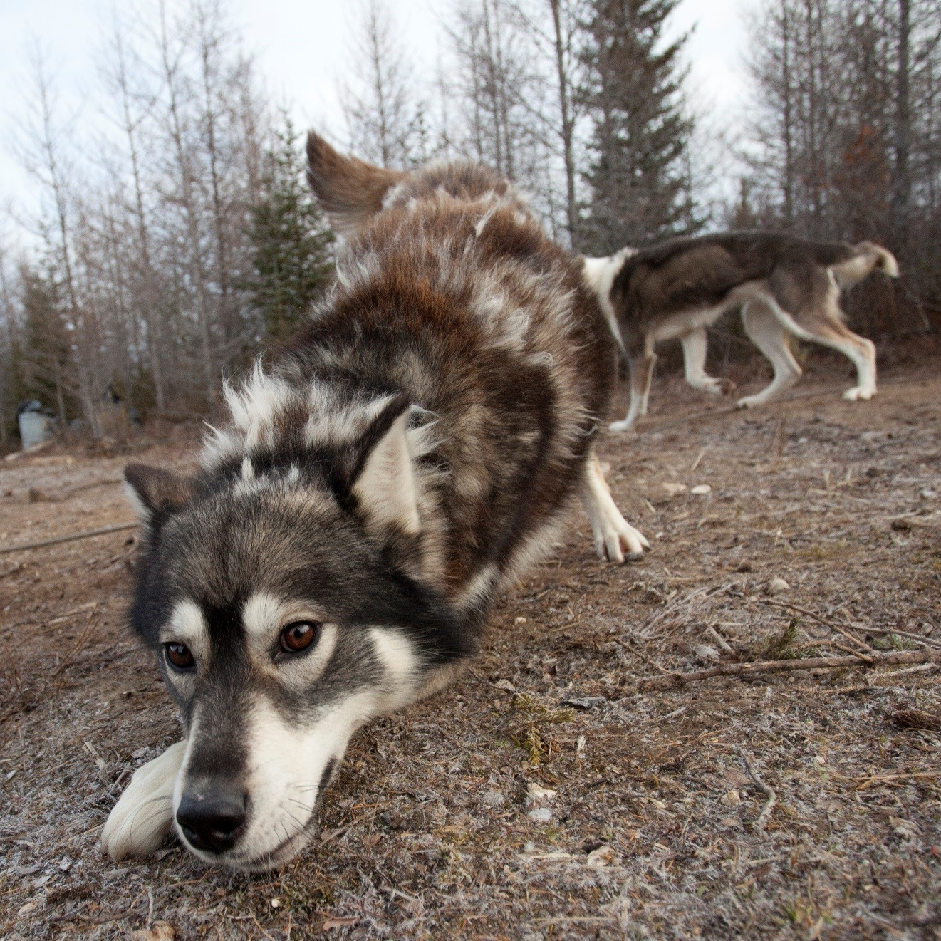 an ultra wide angle photo of a sled dog in the arctic