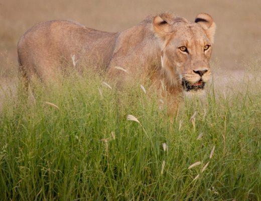 an adult lioness beautifully posed above green grass in the kalahari desert of Botswana