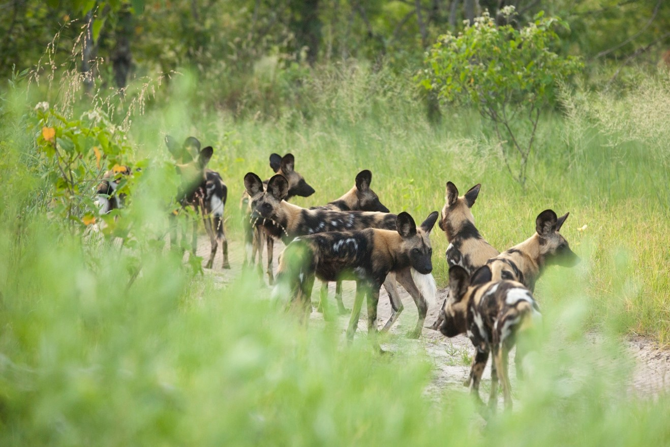 a pack of wild dogs looking in all directions as they pause and regroup on a hunt in Botswana