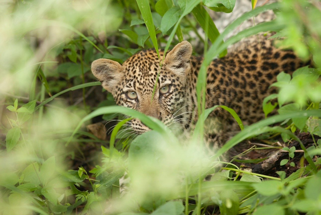 a young leopard peers through the tall grass in Linyanti near Savuti camp