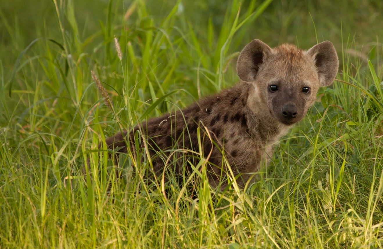 a young spotted hyena stands up amidst tall green season grass