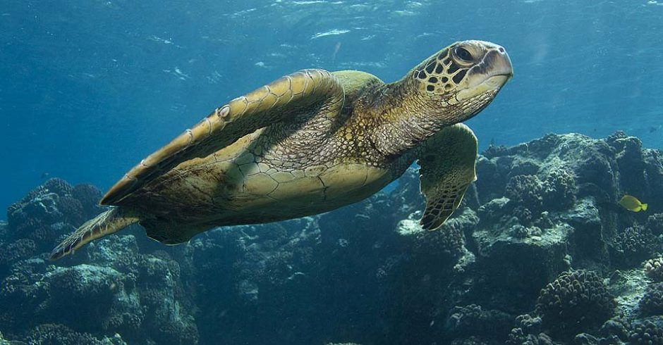 a sea turtle swims in front of the camera in galapagos islands
