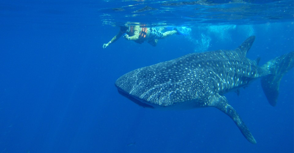 a swimmer is photographed next to a massive whale shark near Isla Holbox