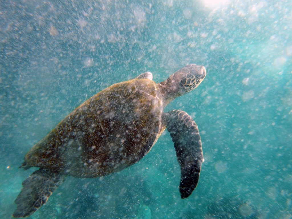 a sea turtle swims in water with minimal debris, but still cloudy due to the camera capturing a single moment