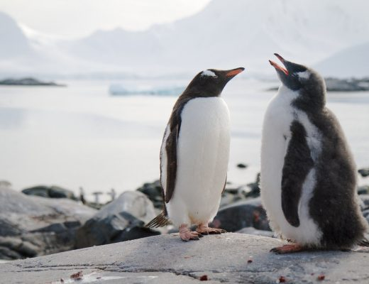 two gentoo penguins perched on a rock in front of a bay in antarctica