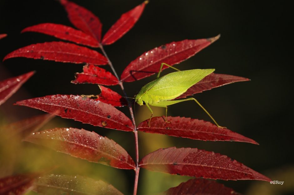 a beautiful green katydid perching on a red leaf to symbolize teh change in seasons
