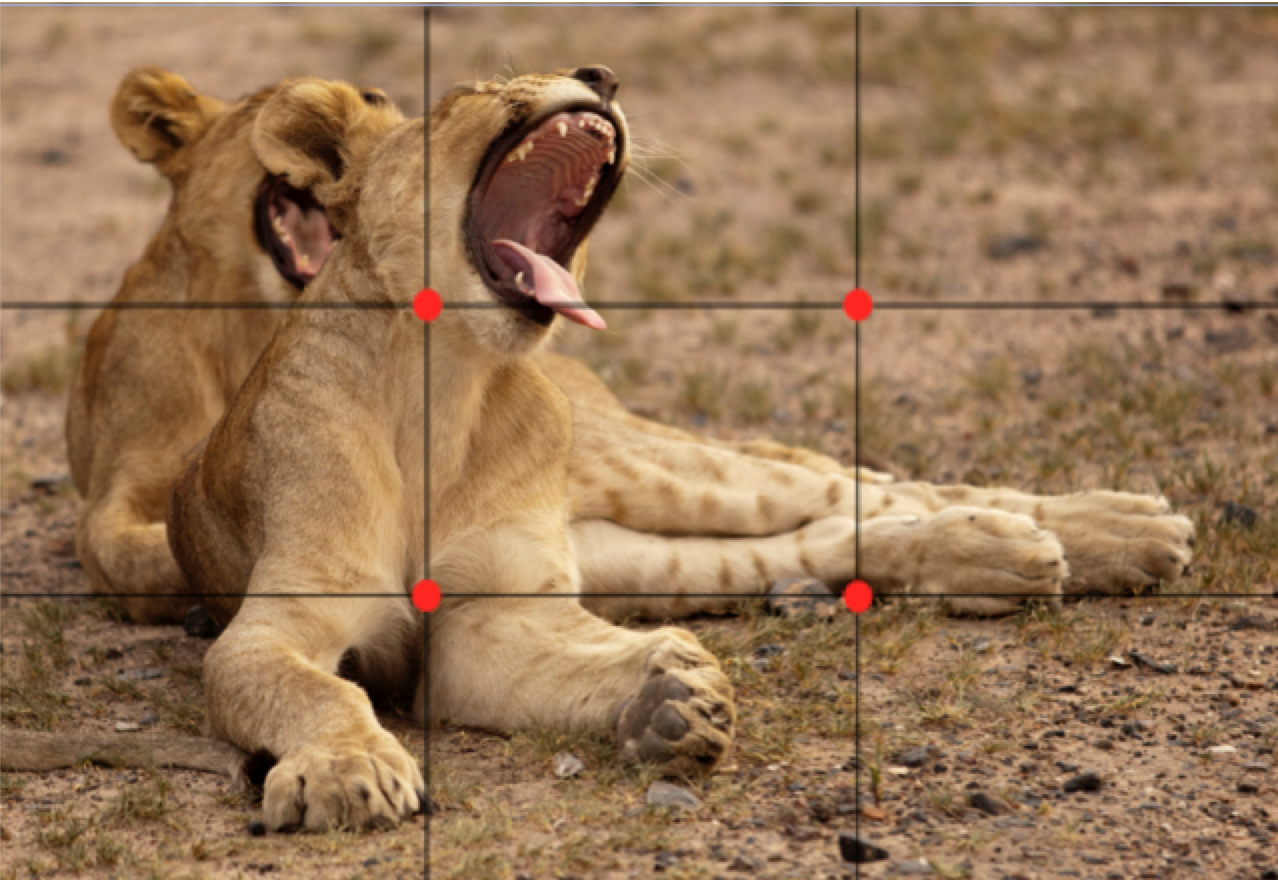 a rule of thirds grid on top of a photo of two lions