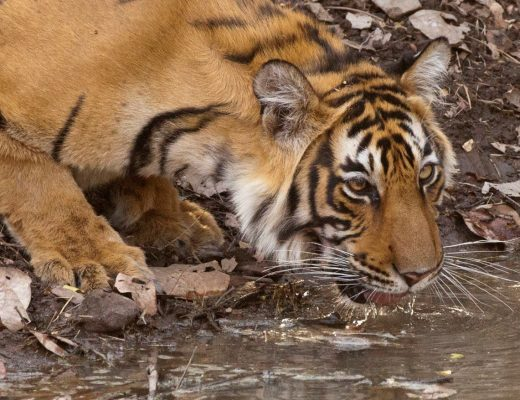 a young adult tiger sipping water at a watering hole in ranthambore national park, India