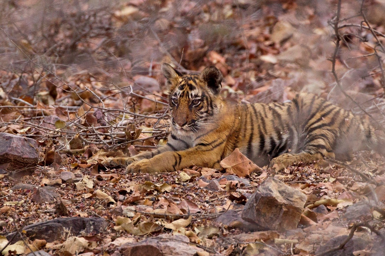 a young tiger cub shrouded by brush in ranthambore national park, India