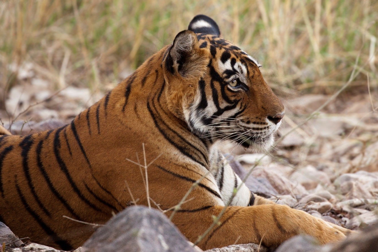a profile view of a tiger in ranthambore national park, India