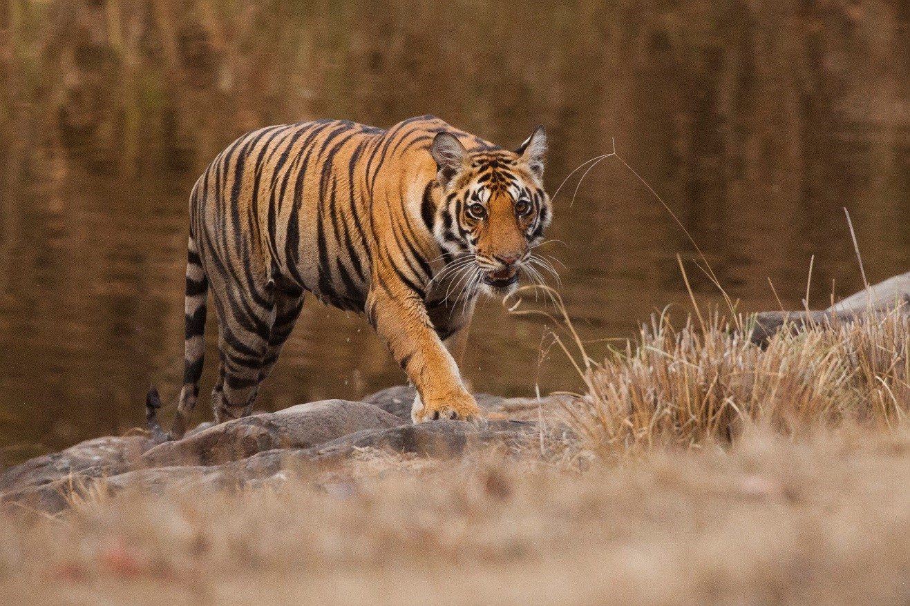 a tiger approaching from the water's edge in Kanha National Park