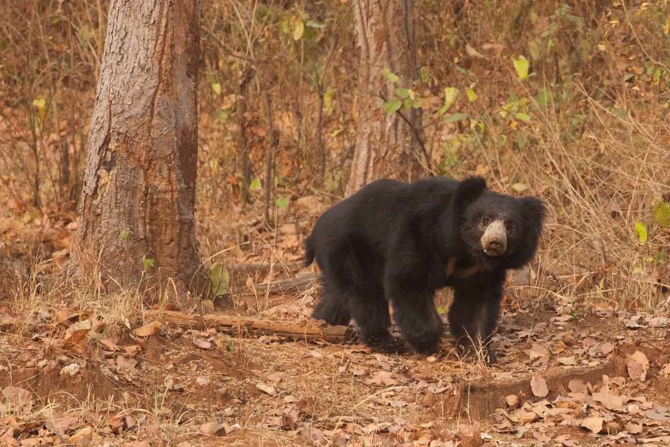 a sloth bear emerges from the woods in Kanha National Park, India