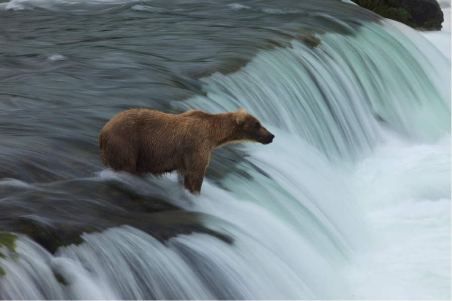 a beautiful mother grizzly bear atop a waterfall waiting for leaping salmon