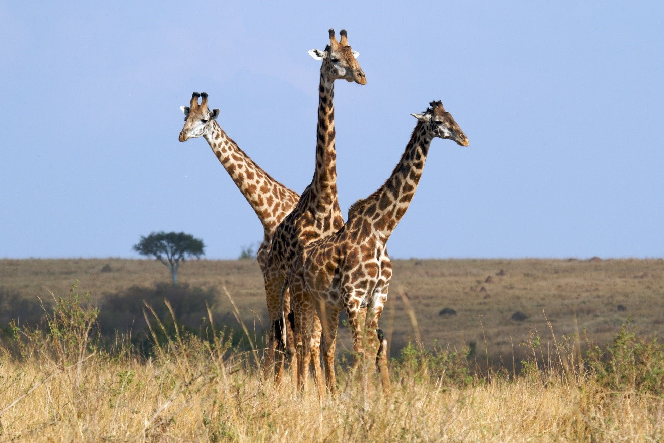 three giraffes all in line against a blue sky