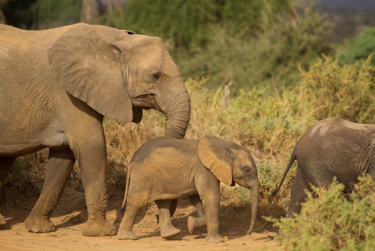 larger elephants walk and protect a small young elephant in samburu kenya