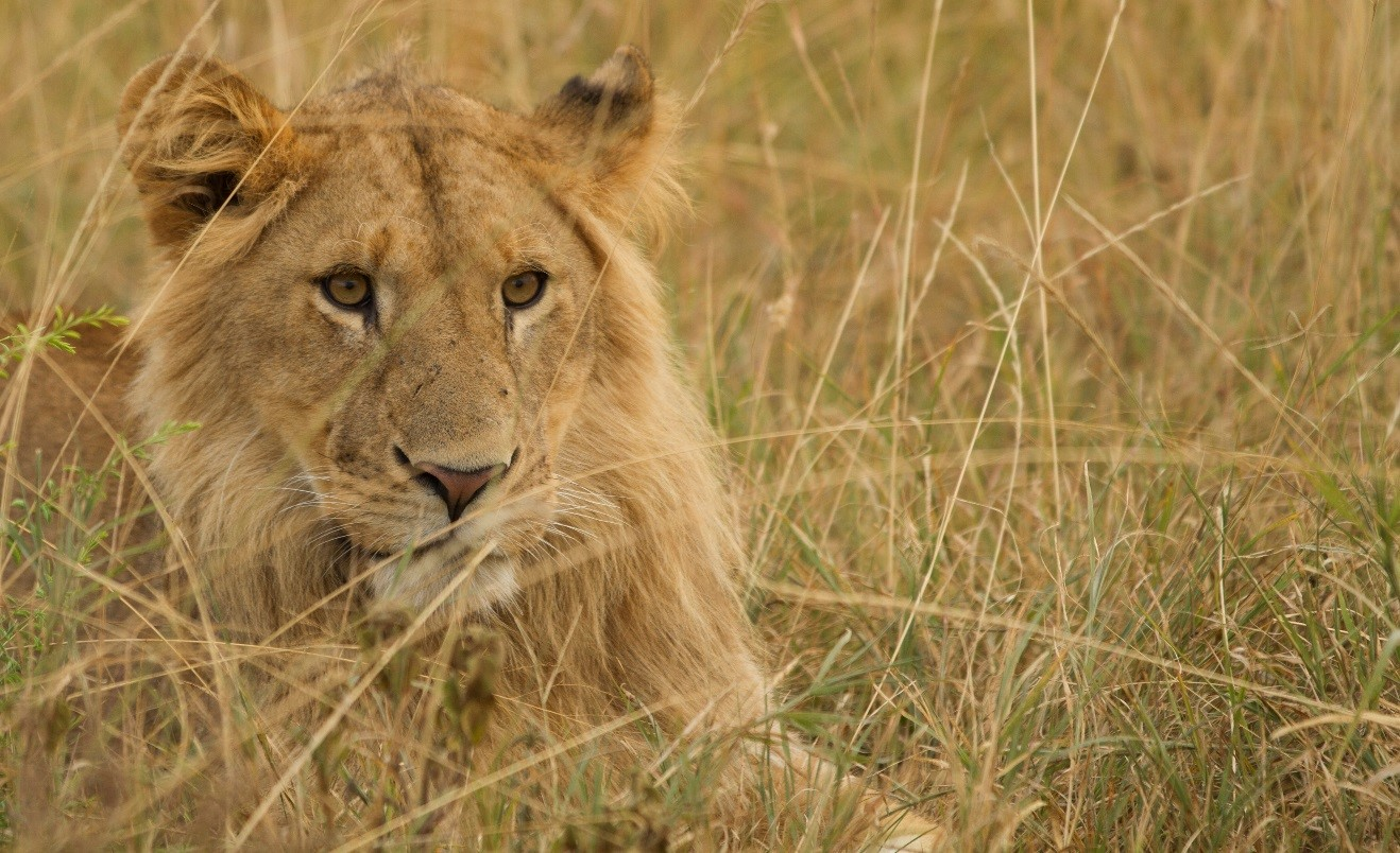 a portrait of a young male lion sitting in the grasses of the masai mara in kenya