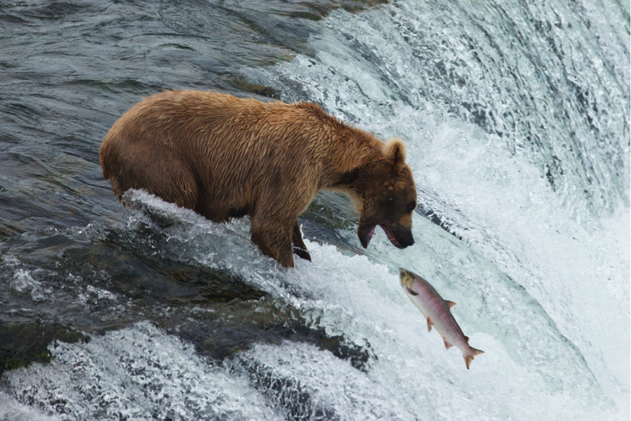 a moment frozen in time as a bear attempts to catch a leaping salmon at brooks falls, Katmai, Alaska