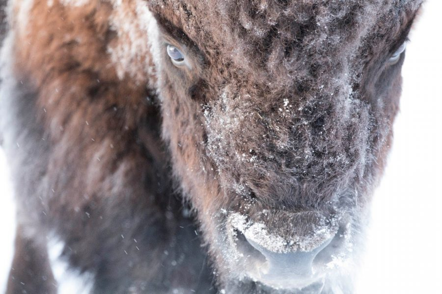 a close up photo of a bison's face while snow is falling, with snow on the face