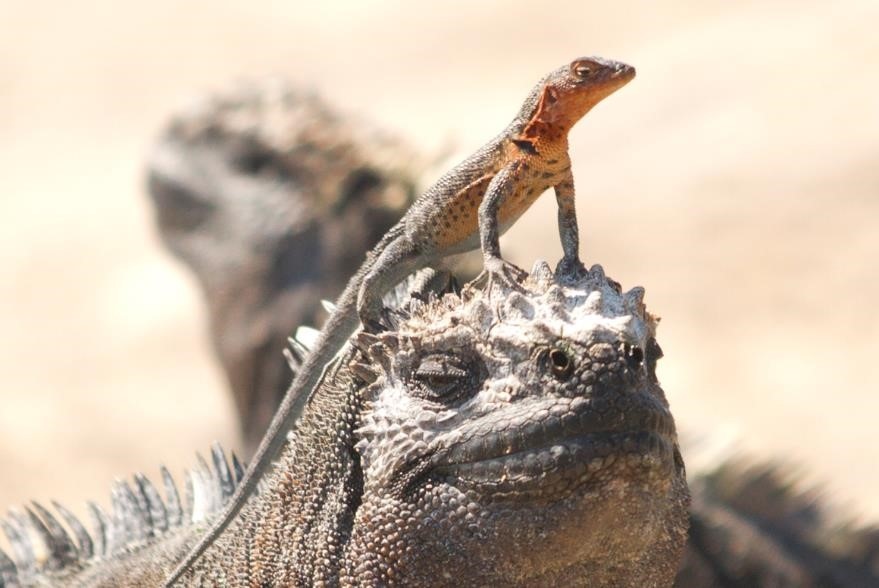 a small lava lizard perches on top of the head of a marine iguana in the galapagos islands