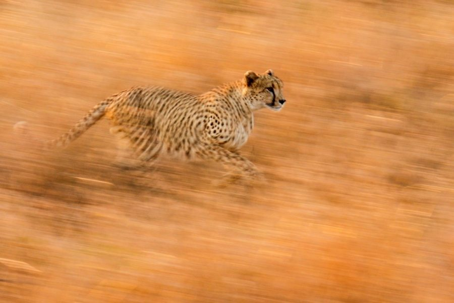 a spectacular blurred motion shot of a cheetah running across the kruger