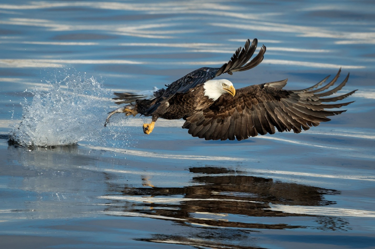A bald eagle takes off from the water after catching a fish