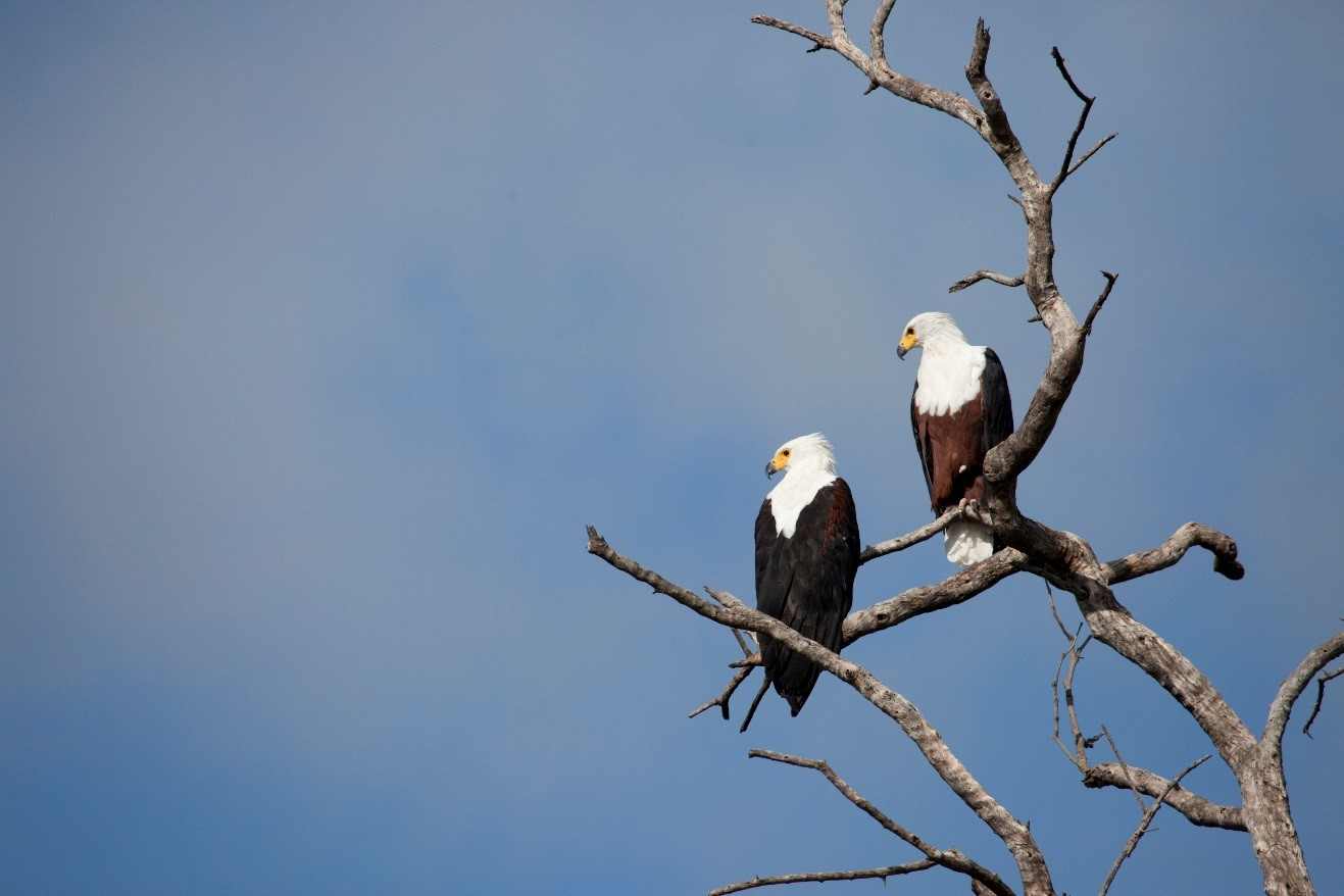 a pair of african fish eagles perched in a tree above the zambezi river