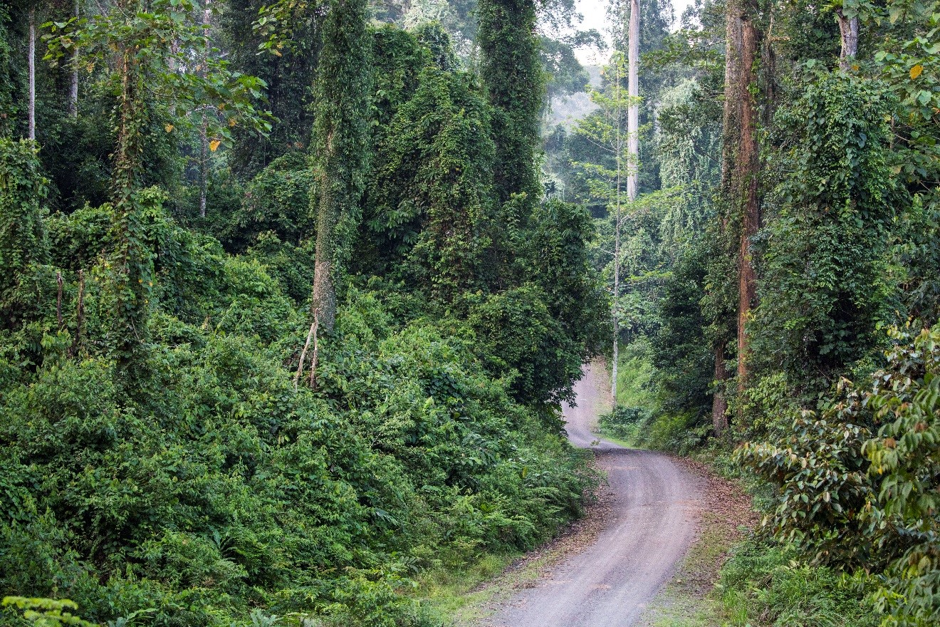 a photo of the Danum Valley road as it winds through the bornean jungle