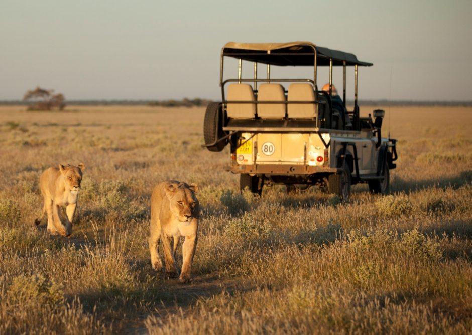 female lions prowl around a safari vehicle in Botswana