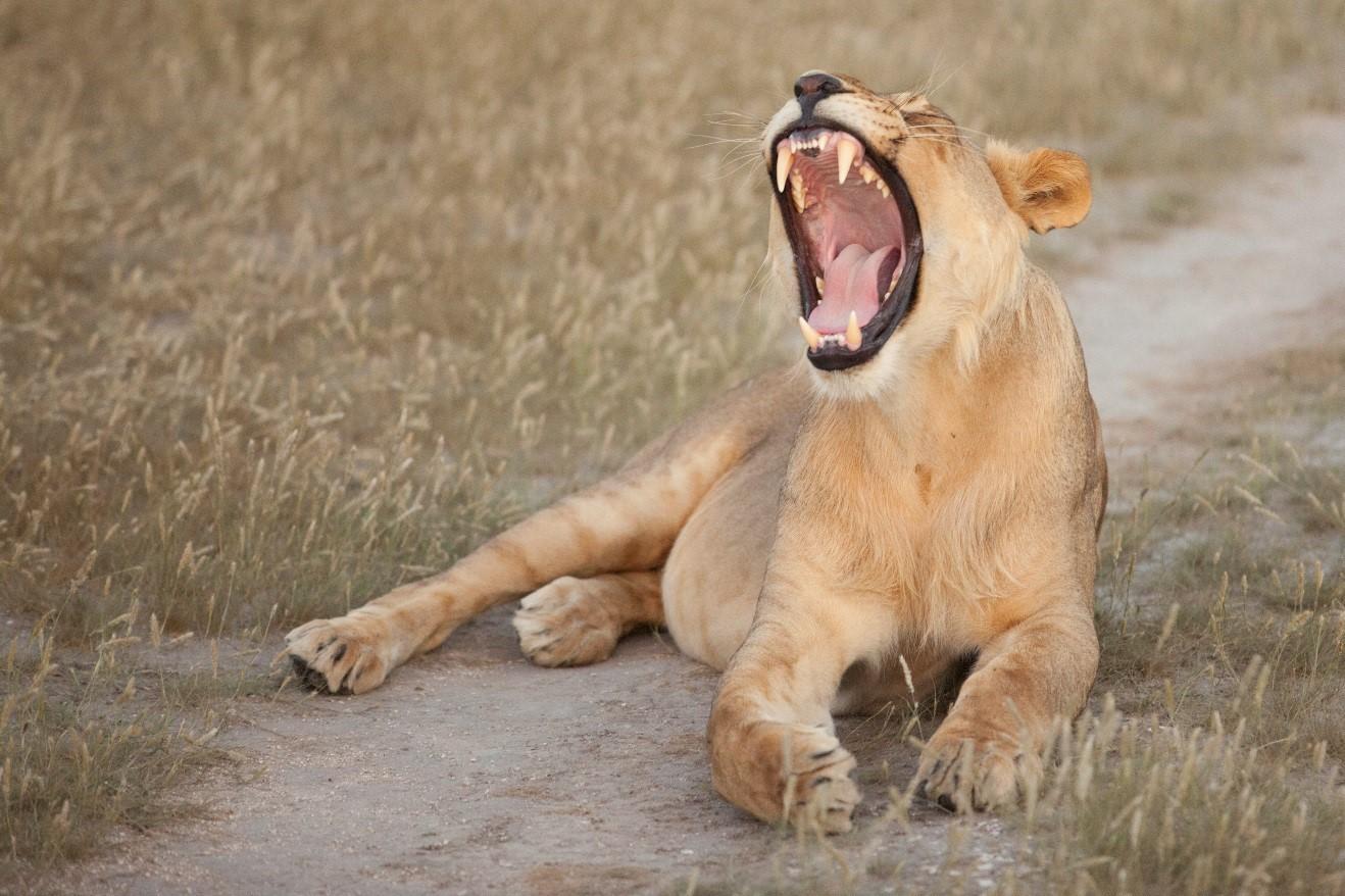 a lion roars in Botswana