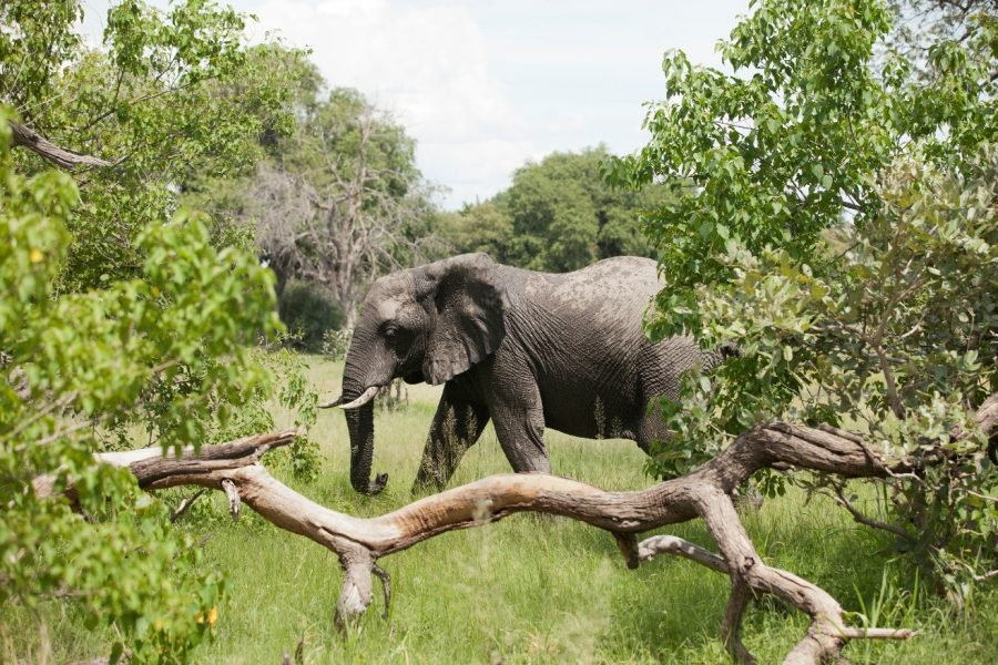 an elephant crosses into my field of view while photographing on an african safari