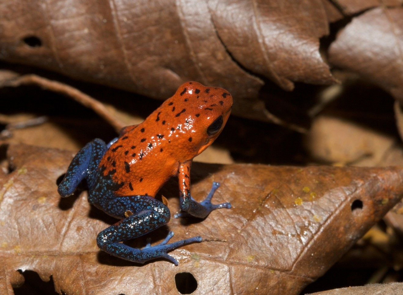 a macro photo of a small poison arrow frog taken in costa rica