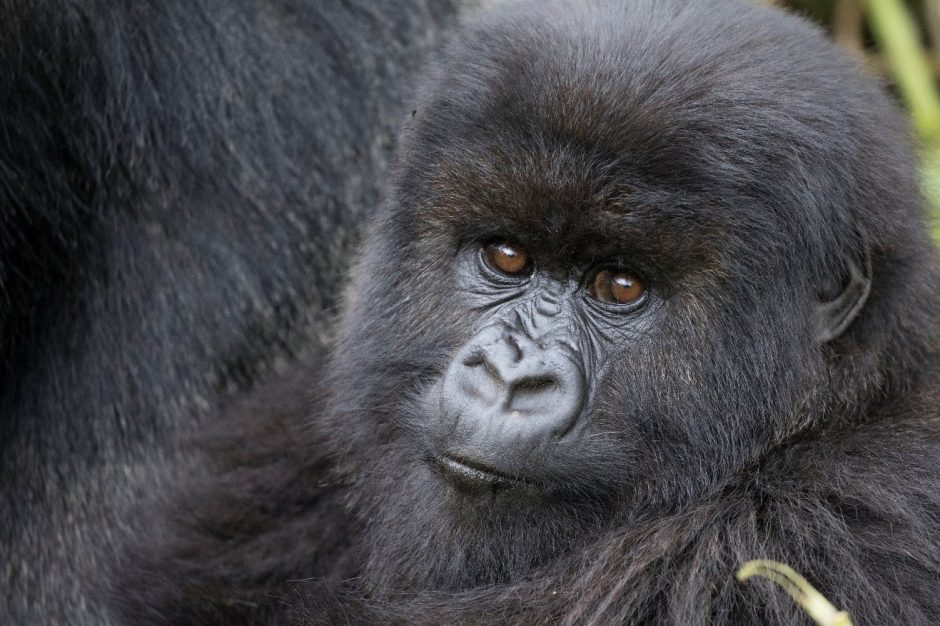 a young mountain gorilla stares at the camera in curiosity