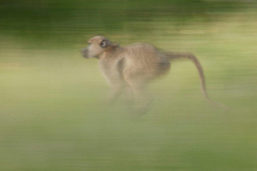 a slow shutter photo of a baboon running through the grasses of the masai mara