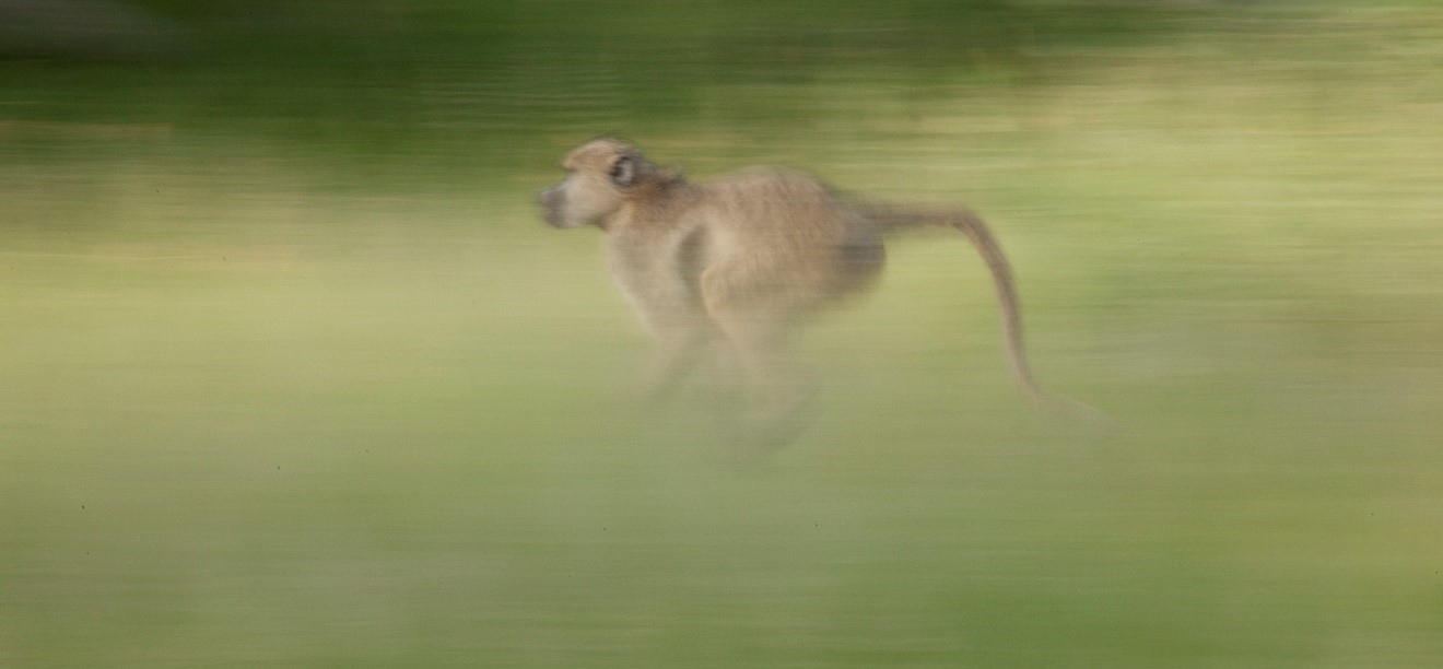 a slow shutter photo of a baboon running through the grasses of the masai mara