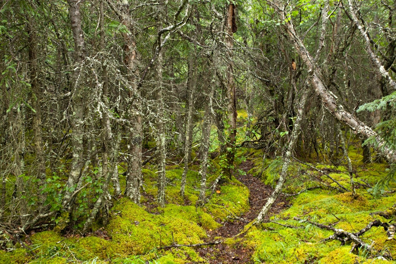 a photo of the intense green color of mosses and lichens in the forest in katmai national park