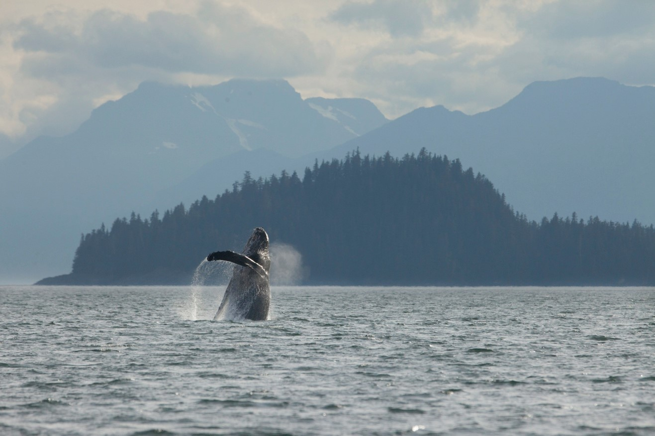 a jumping humpback whale leaps with classic southeast alaska scenery in the background