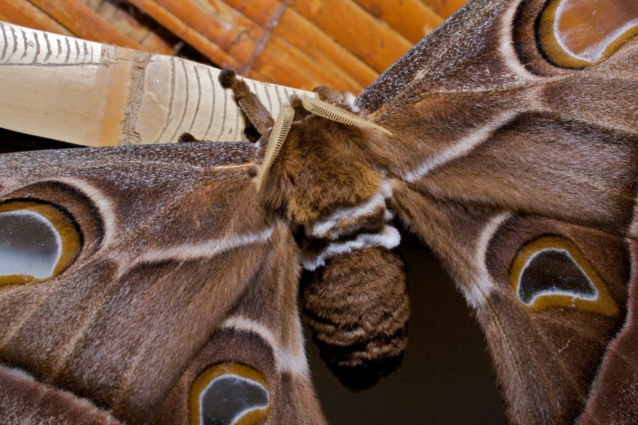 a large hairy atlas moth with picture windows in its wings rests in a lodge in Papua new guinea