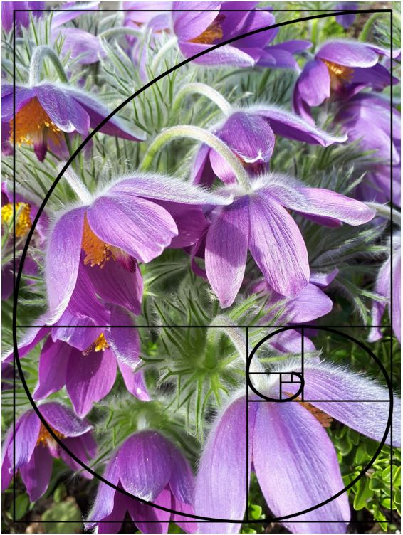 fibonacci spiral over top of a flower photo showing composition elements