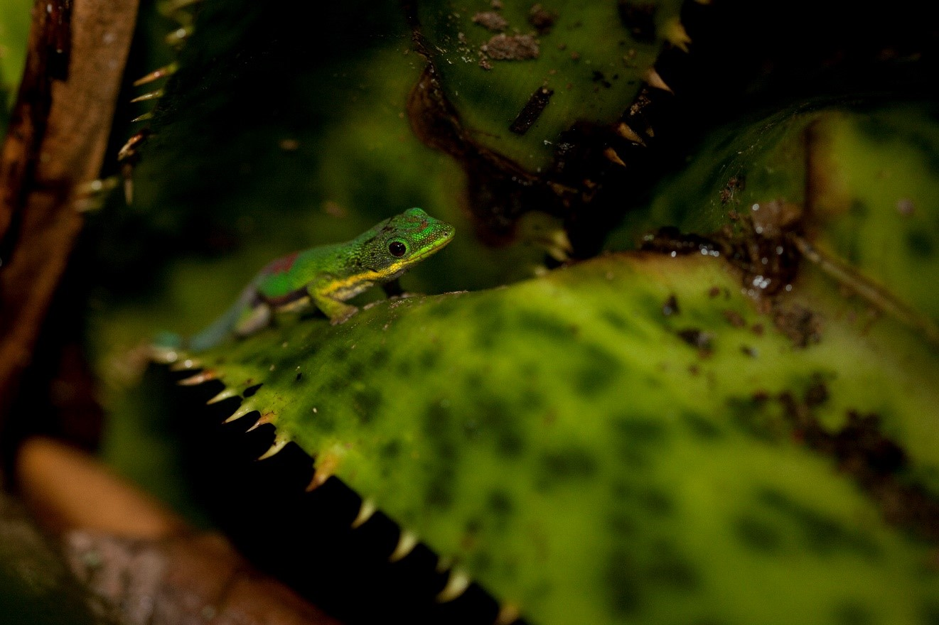 a day gecko perches on a bromeliad in madagascar