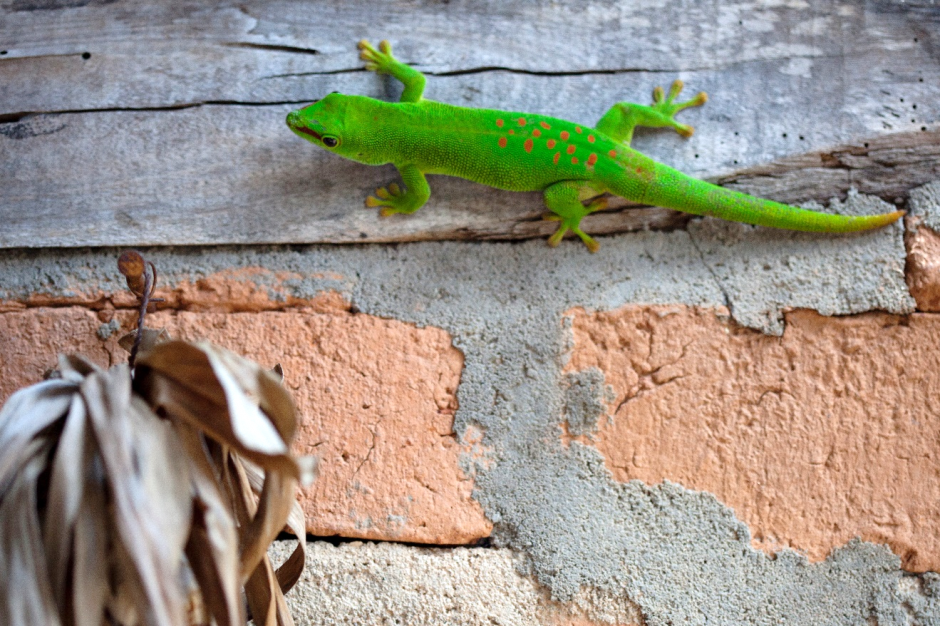 a contrasting scene of a day gecko on a brick wall outside of a lodge in madagascar