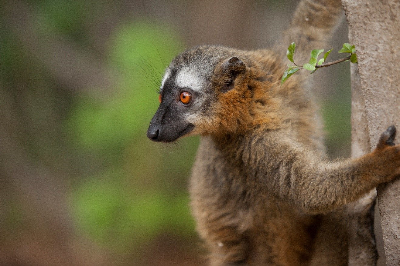 a common brown lemur hesitates before leaping in Isalo national park, madagascar