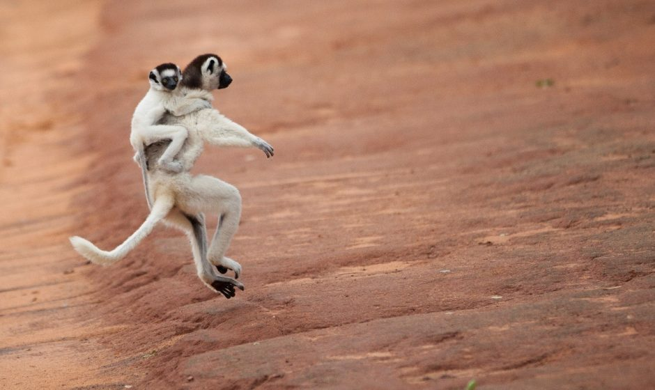 a mother coquerel's sifaka bounds down a trail with baby on back