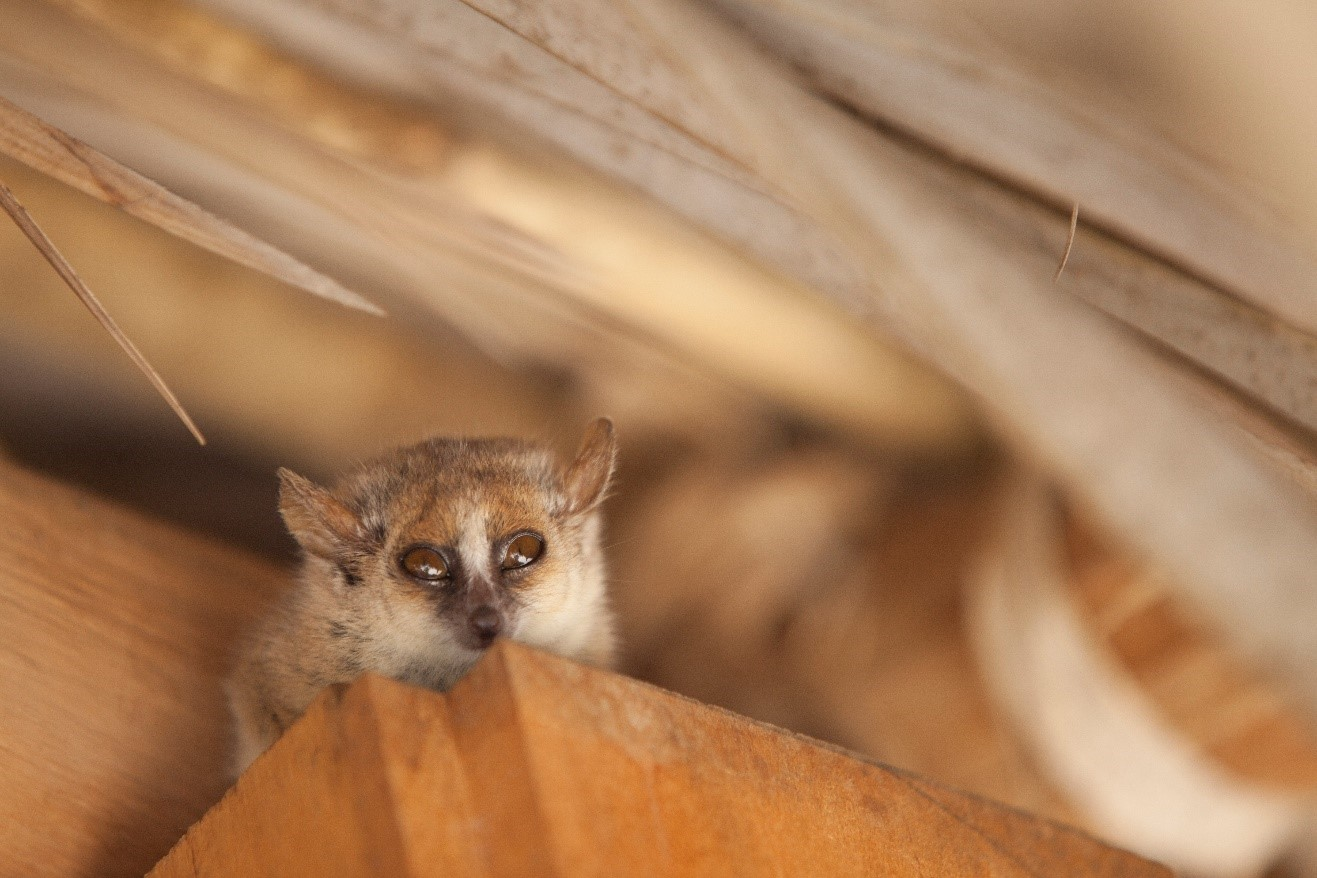 a small mouse lemur peers down from the rafters in madagascar