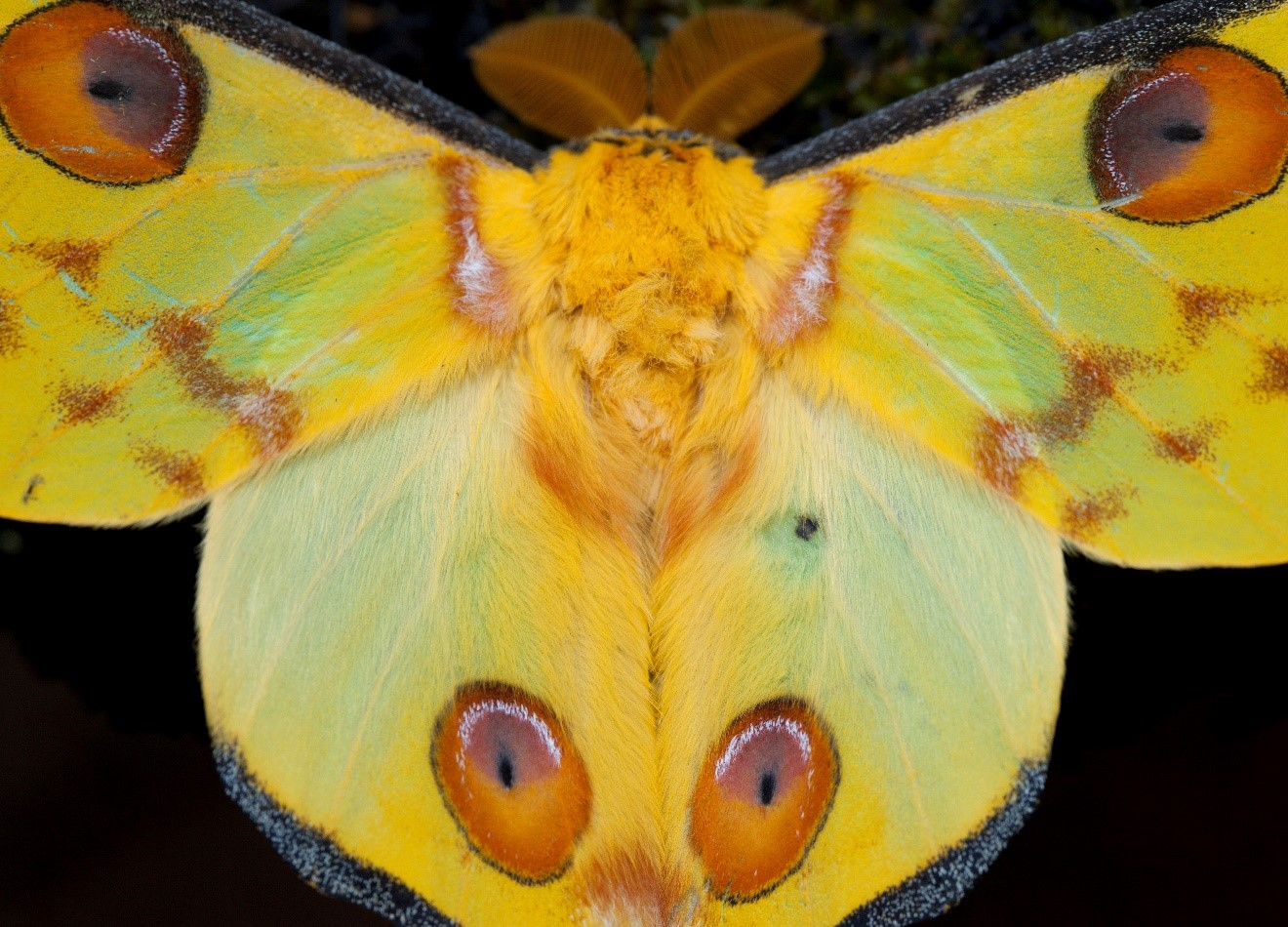a large comet moth in ranomafana perches near a trail light at night