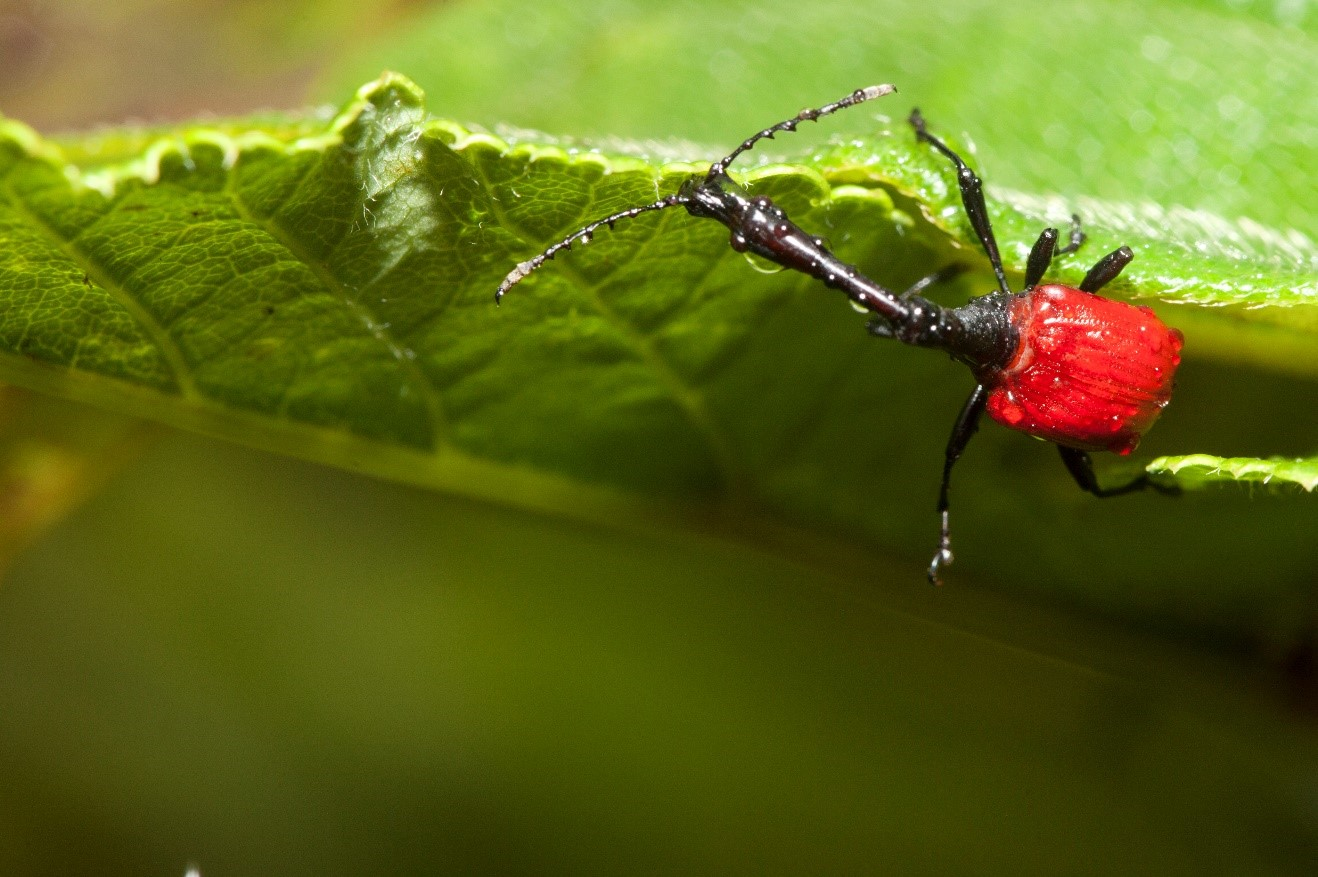 a small giraffe-necked weevil walks along a leaf in ranomafana national park