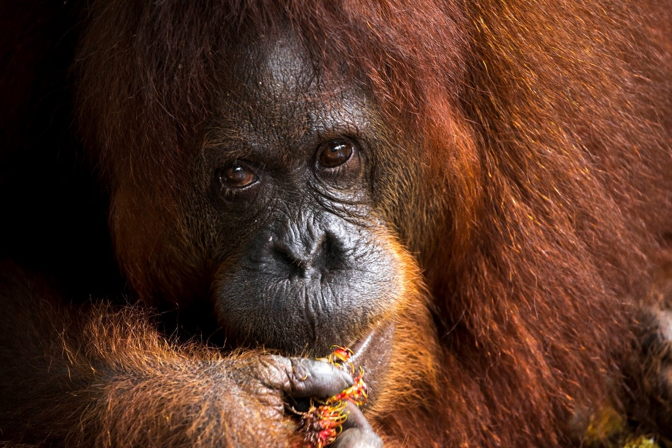 a female orangutan feeds on fruit in Kuching, Borneo